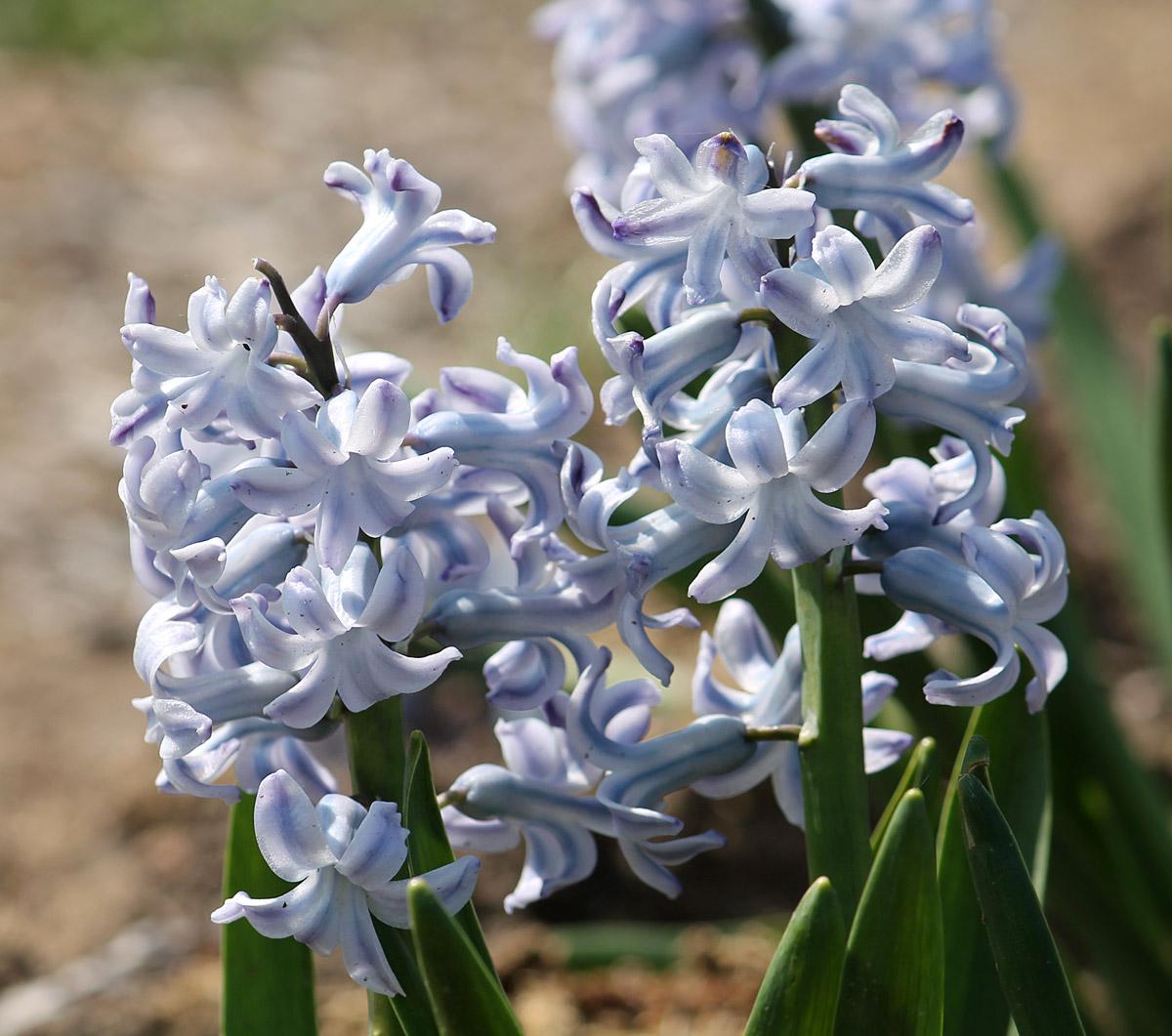 Гиацинт восточный сорт 'Grand Lilac' (Гранд Лилак). Два соцветия крупным планом