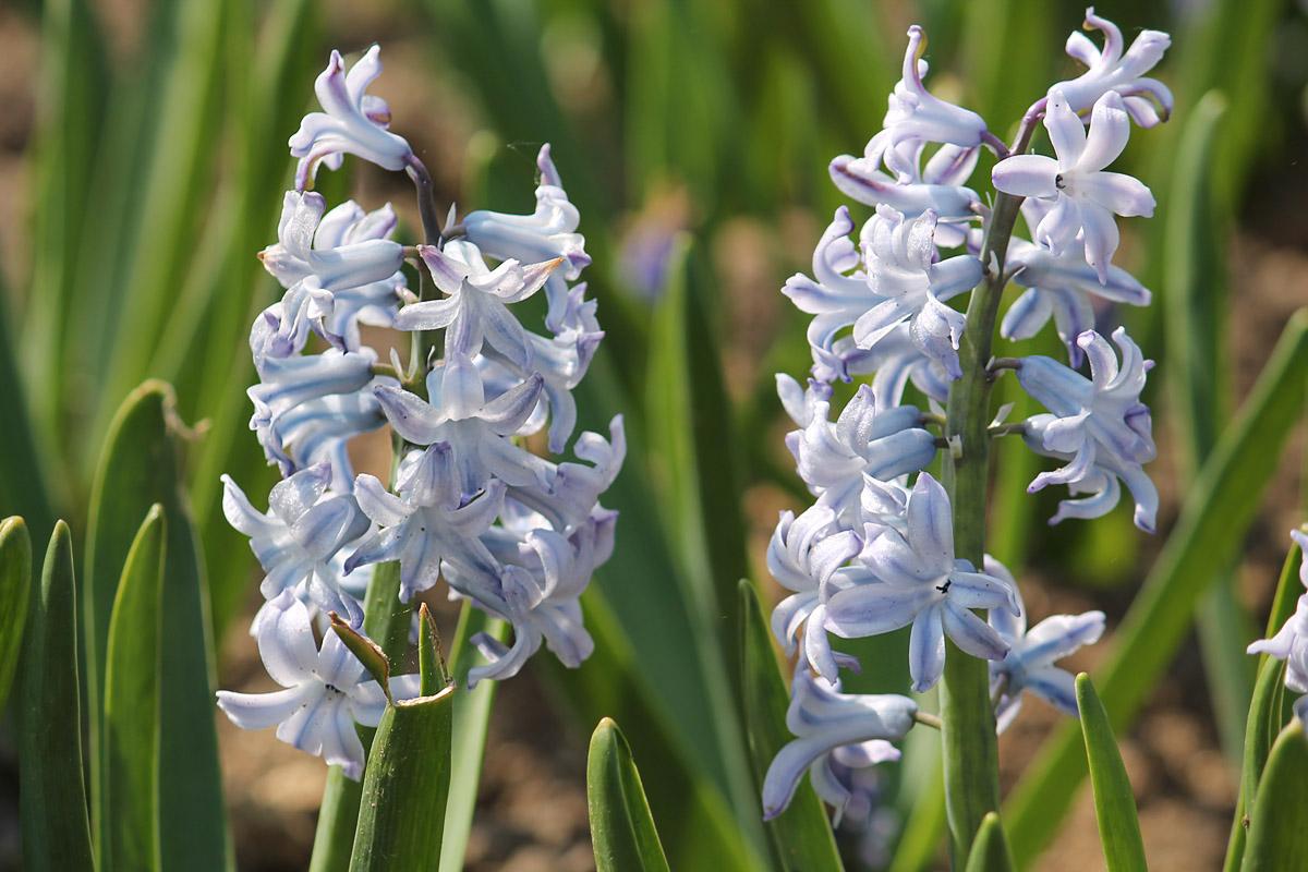 Гиацинт восточный сорт 'Grand Lilac' (Гранд Лилак). Соцветия крупным планом