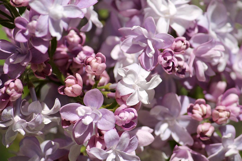 Сирень обыкновенная 'Надежда' (Nadezhda). Цветы крупным планом