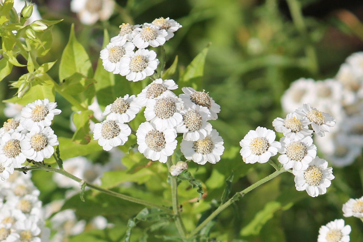Белые корзинки (соцветия) Тысячелистника птармика (Achillea ptarmica) крупным планом