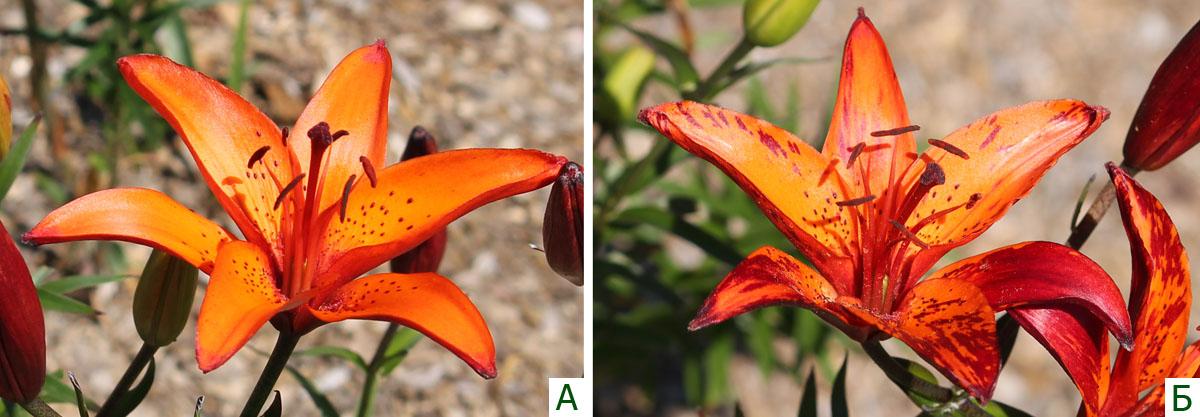 Цветок здоровой лилии (А) и цветок лилии с проявлениями вирусной пестролепестности в виде темных пестрин (Б).