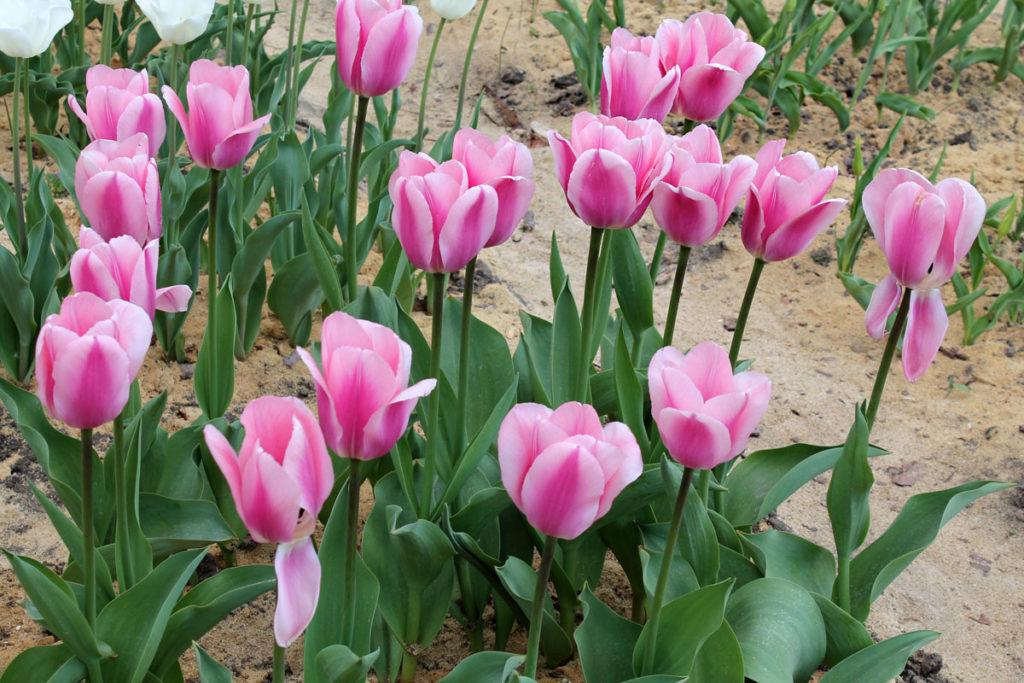 Тюльпаны сорта 'Algarve'