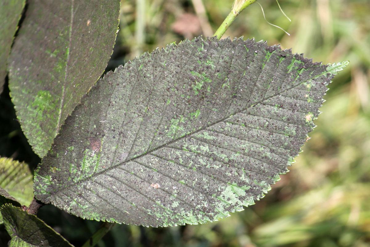 Чернь на листе вяза шершавого (Ulmus glabra)