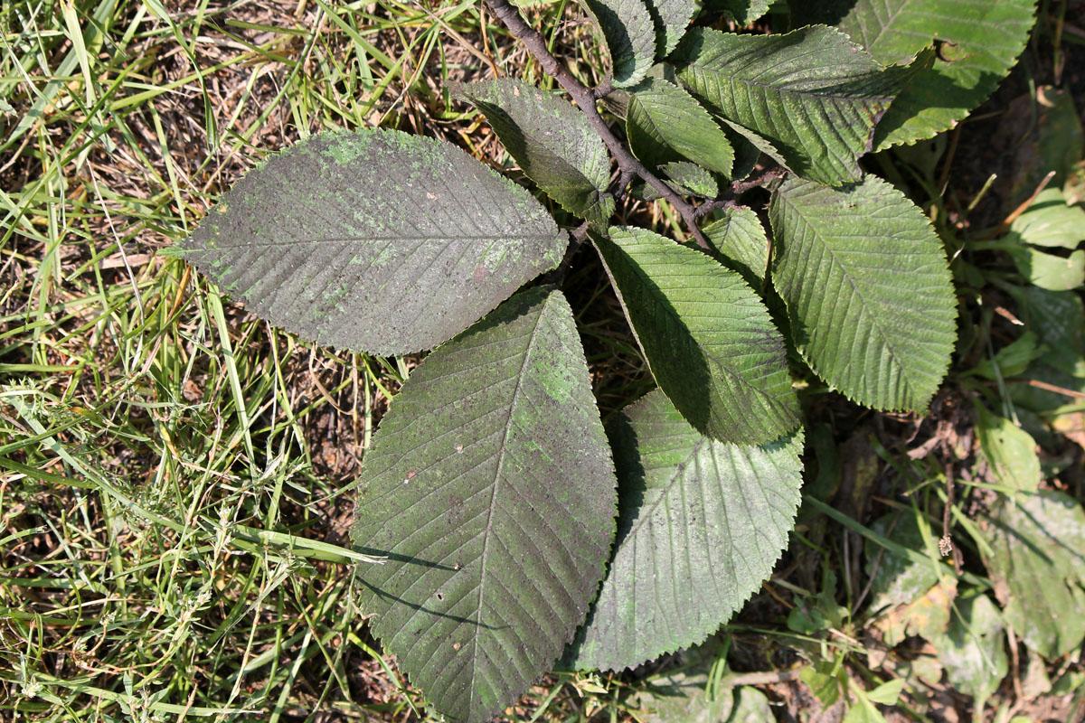Чернь на листьях вяза шершавого (Ulmus glabra)