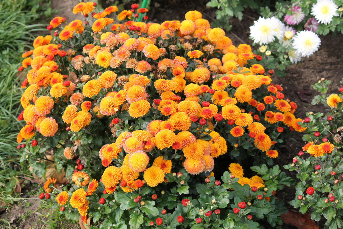 Хризантема мультифлора сорт Boreus