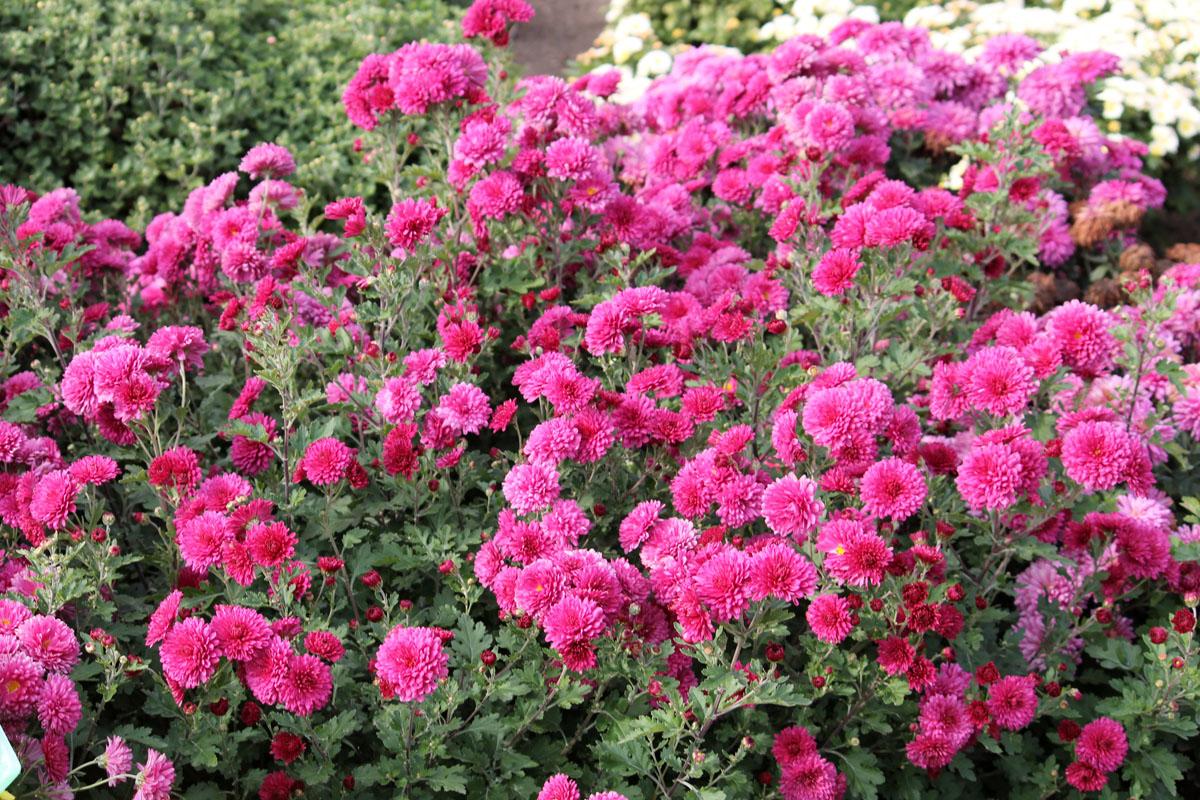 Хризантема корейская сорт Дочь Розетты