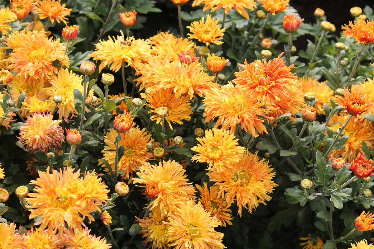 Хризантема корейская сорт Гелиос