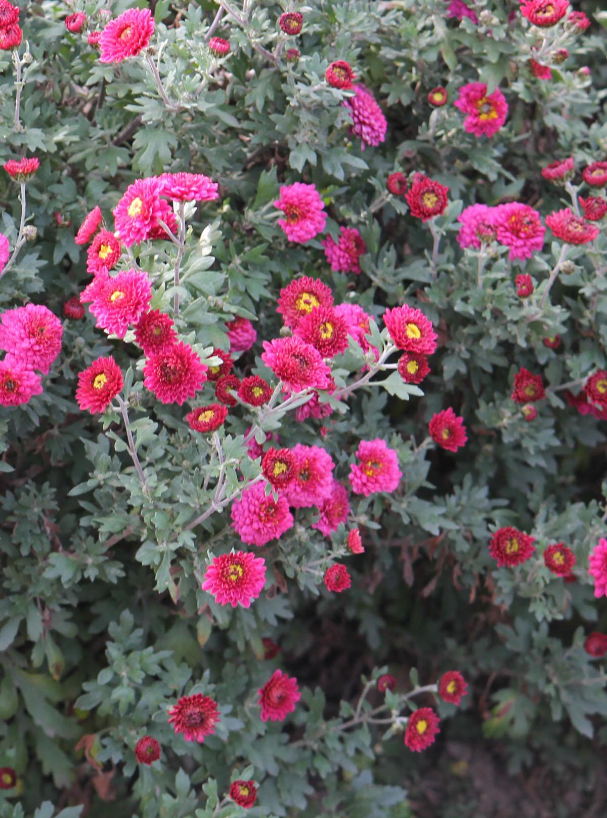 Хризантема корейская сорт Крихітка