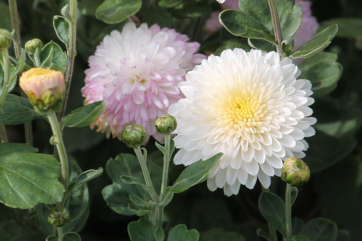 Хризантема корейская сорт Натали