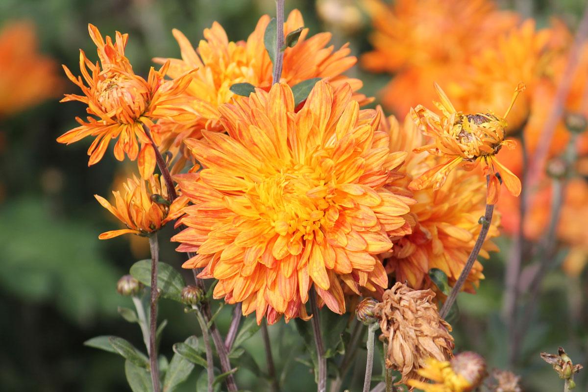 Хризантема корейская сорт Оранжевый Закат