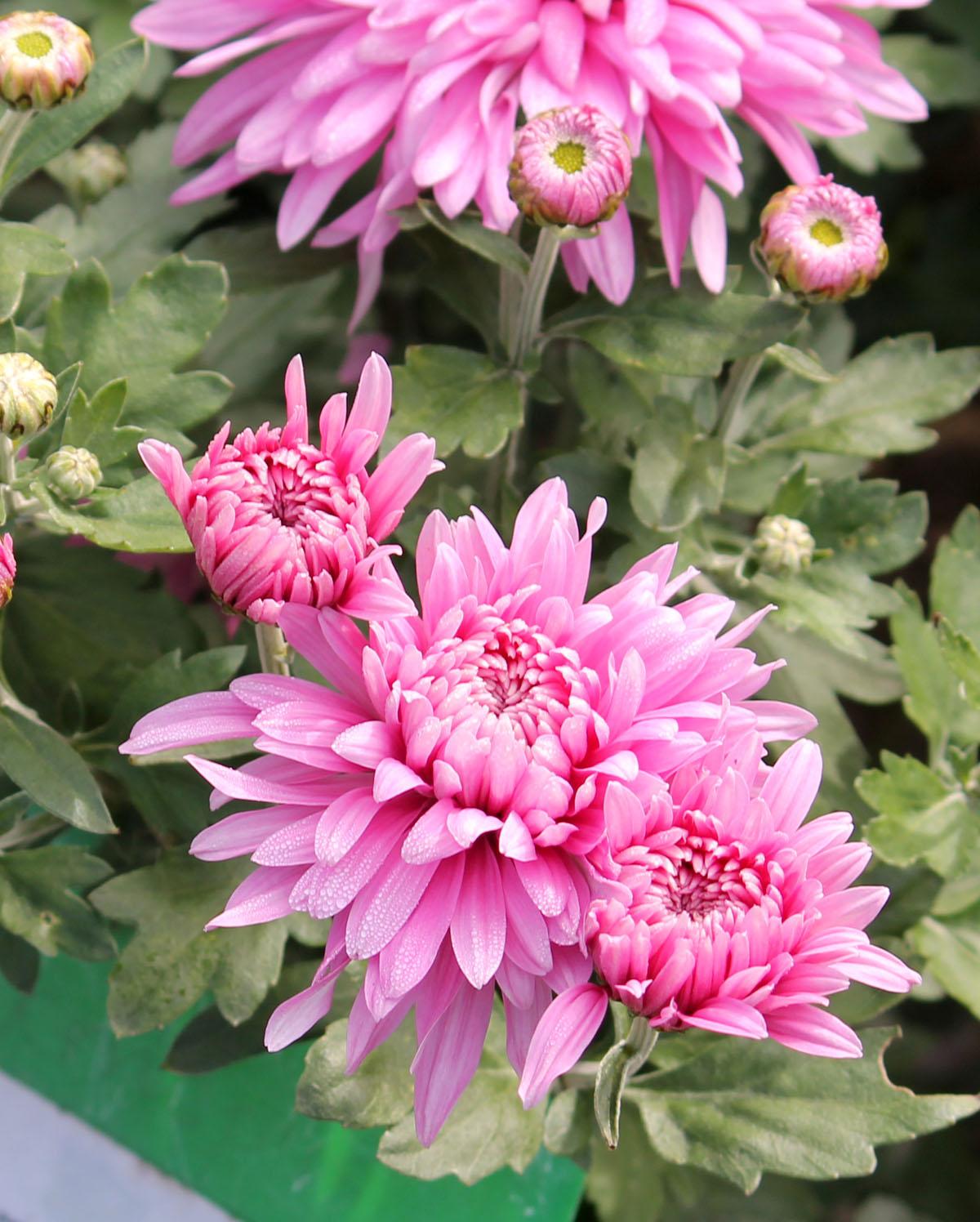 Хризантема корейская сорт Віктория
