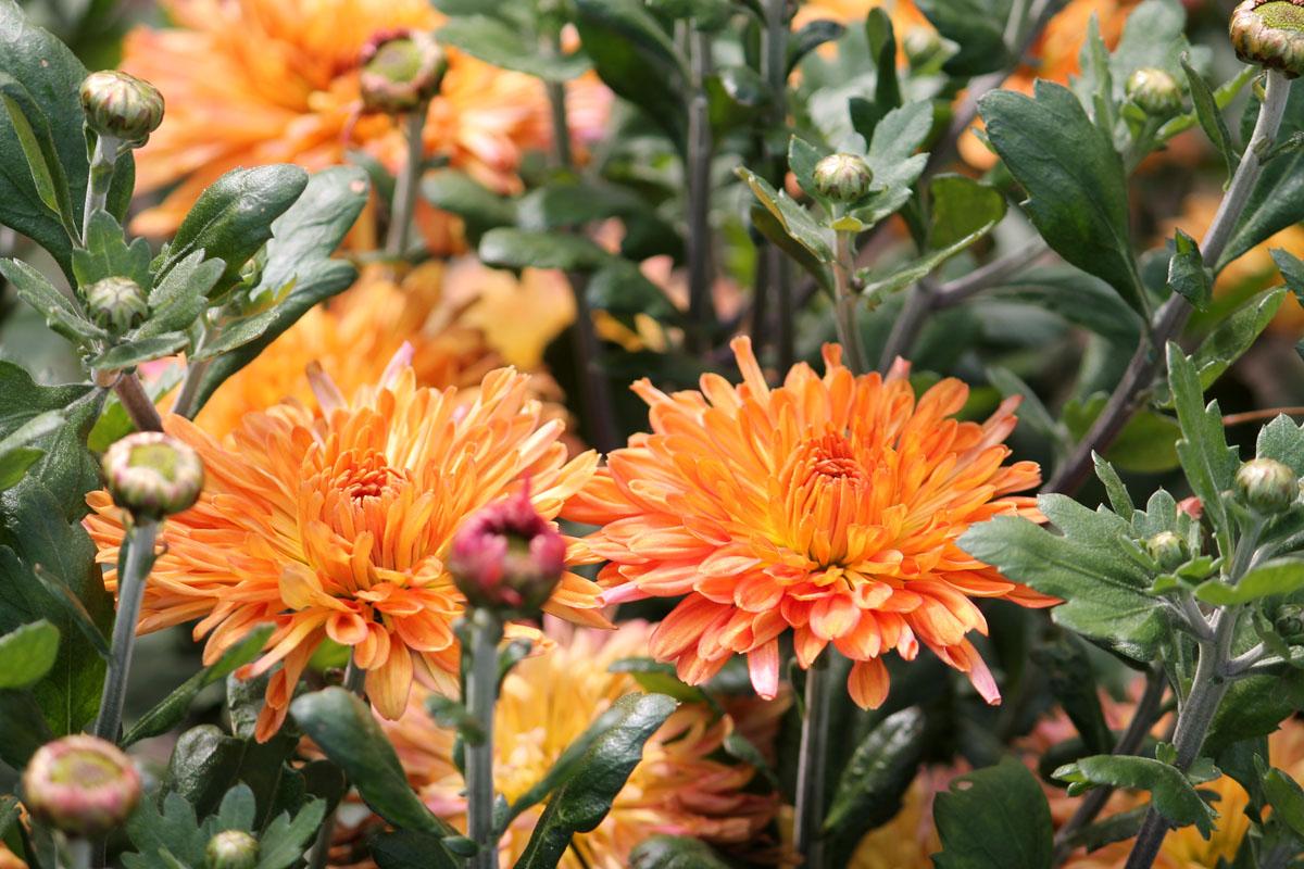 Хризантема корейская сорт Жар-птица