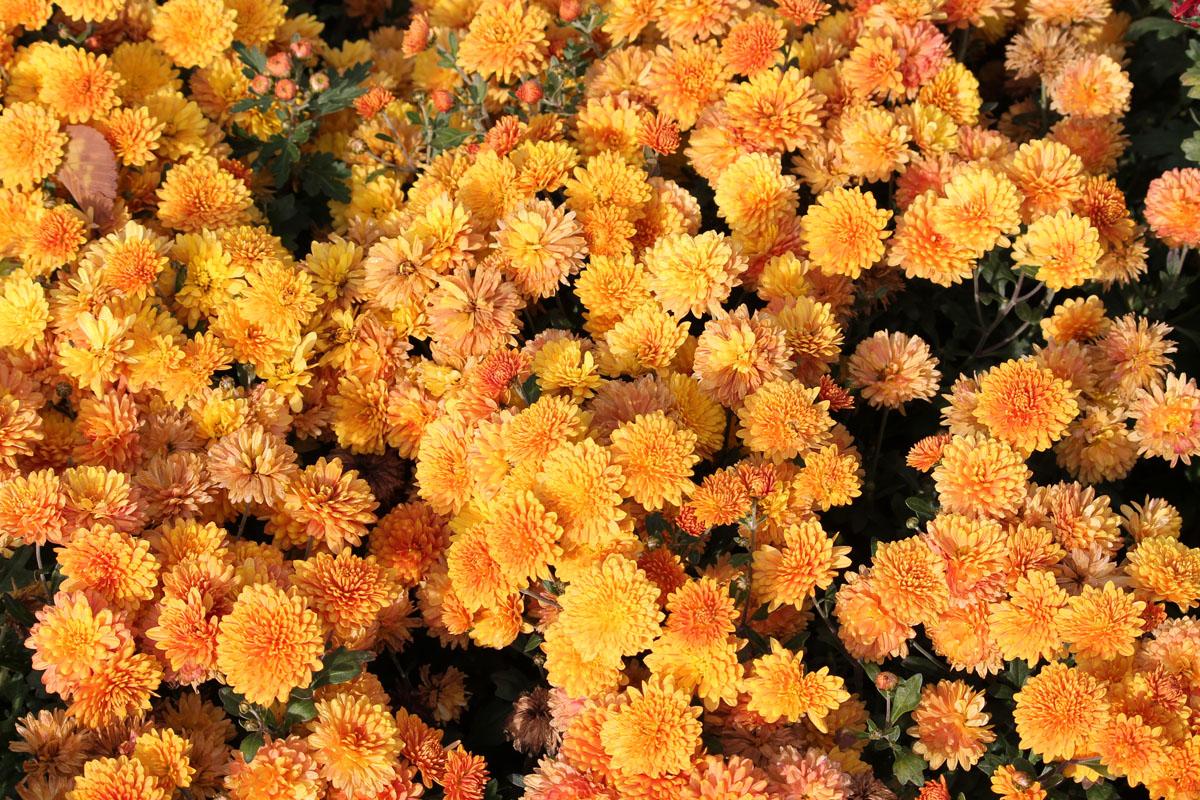 Хризантема корейская сорт Жар Пустелі