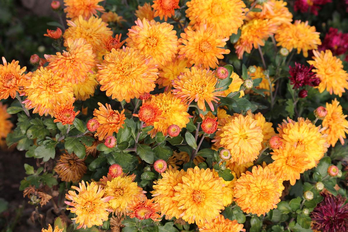 Хризантема корейская сорт Золотий Дукат