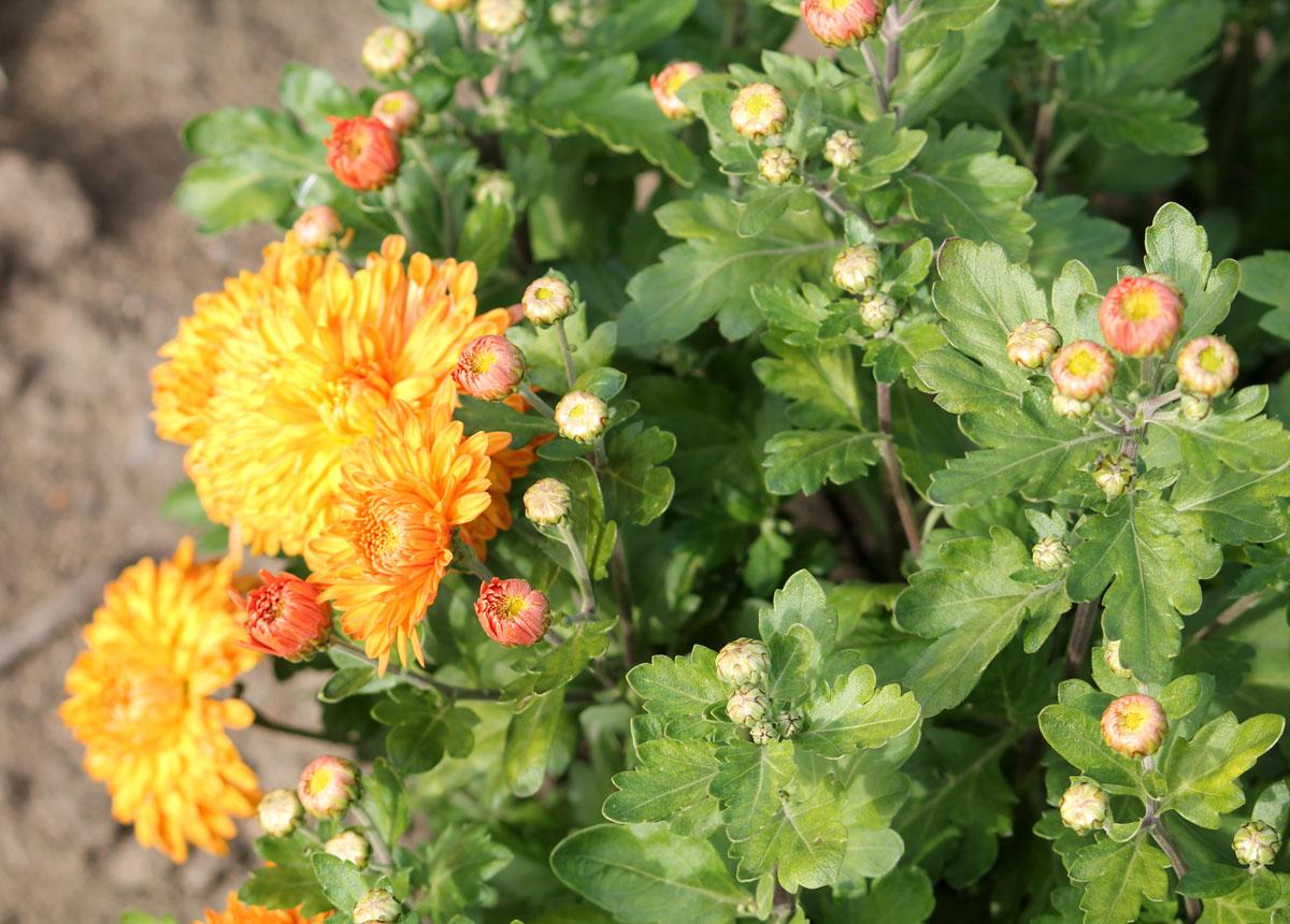 Хризантема корейская сорт Золотистый Апельсин