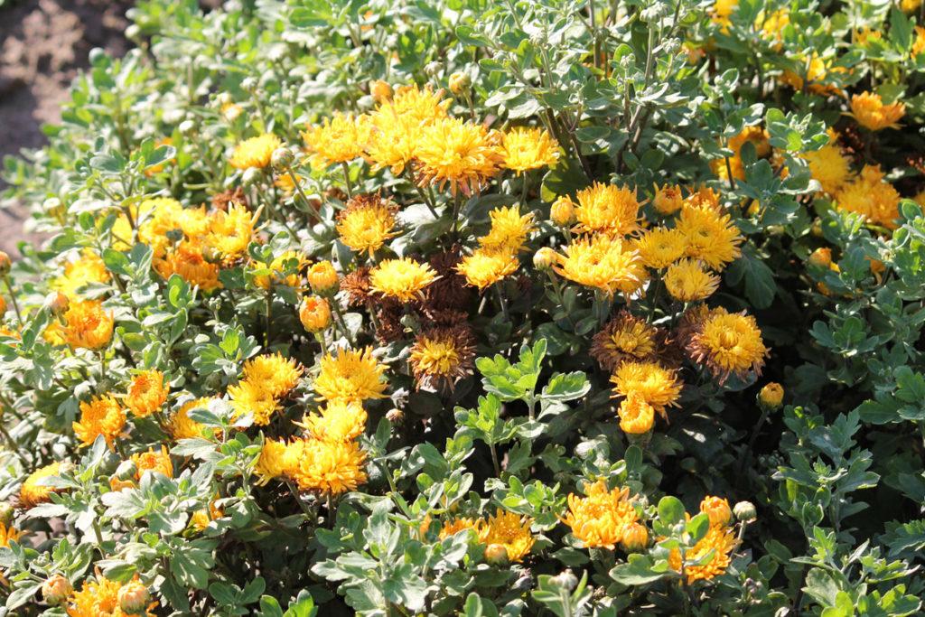 Хризантема корейская 'Золотистый Апельсин'