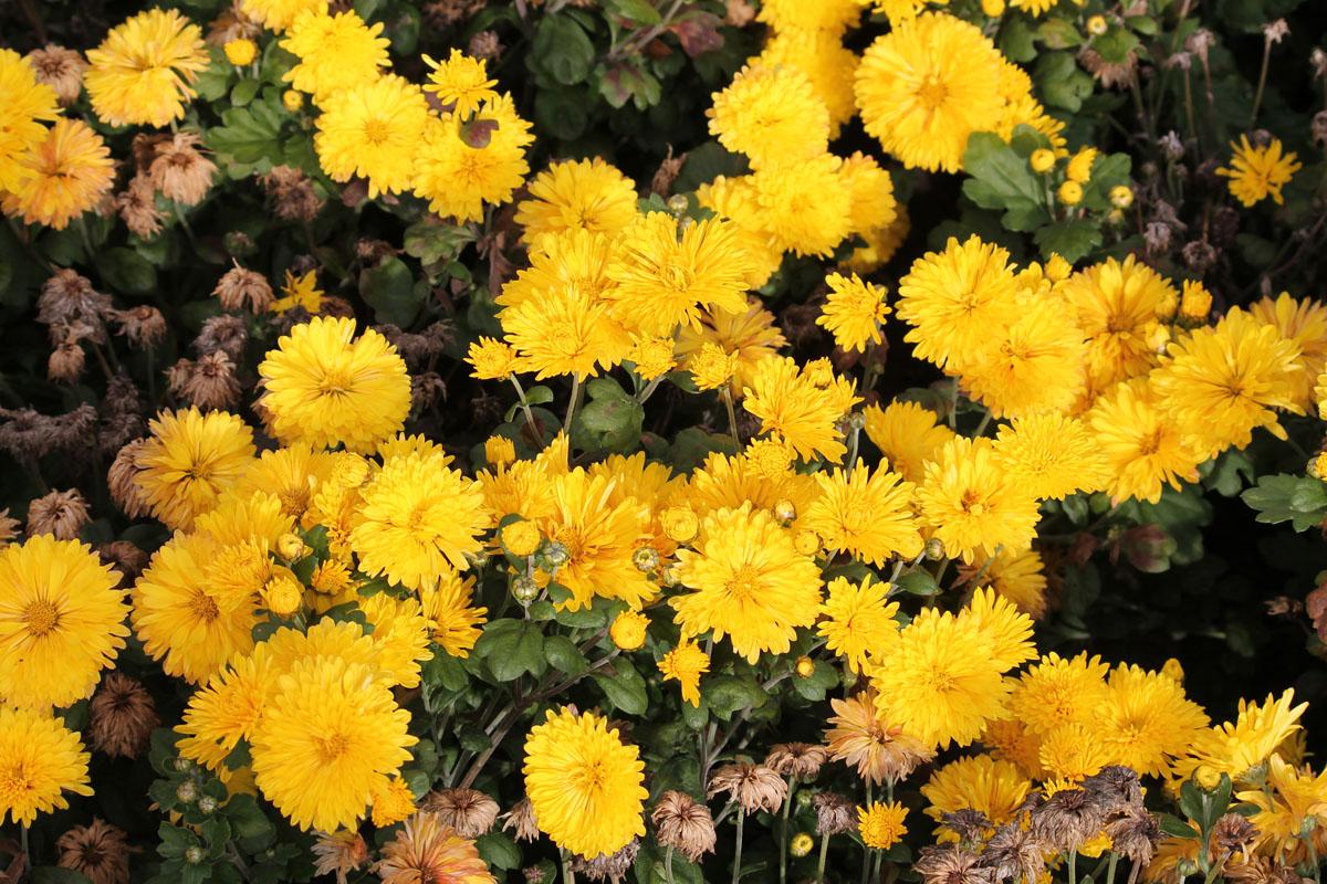 Хризантема корейская сорт Золотоволоска