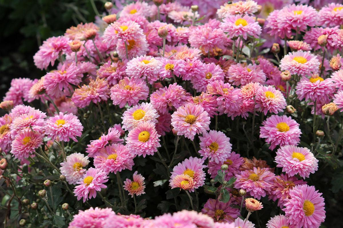 Хризантема корейская сорт Золушка