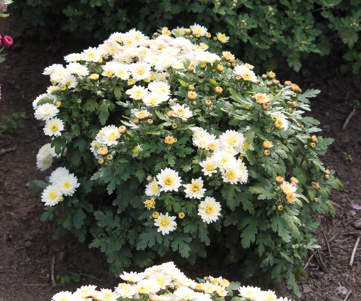 Хризантема корейская сорт Біла Альтанка