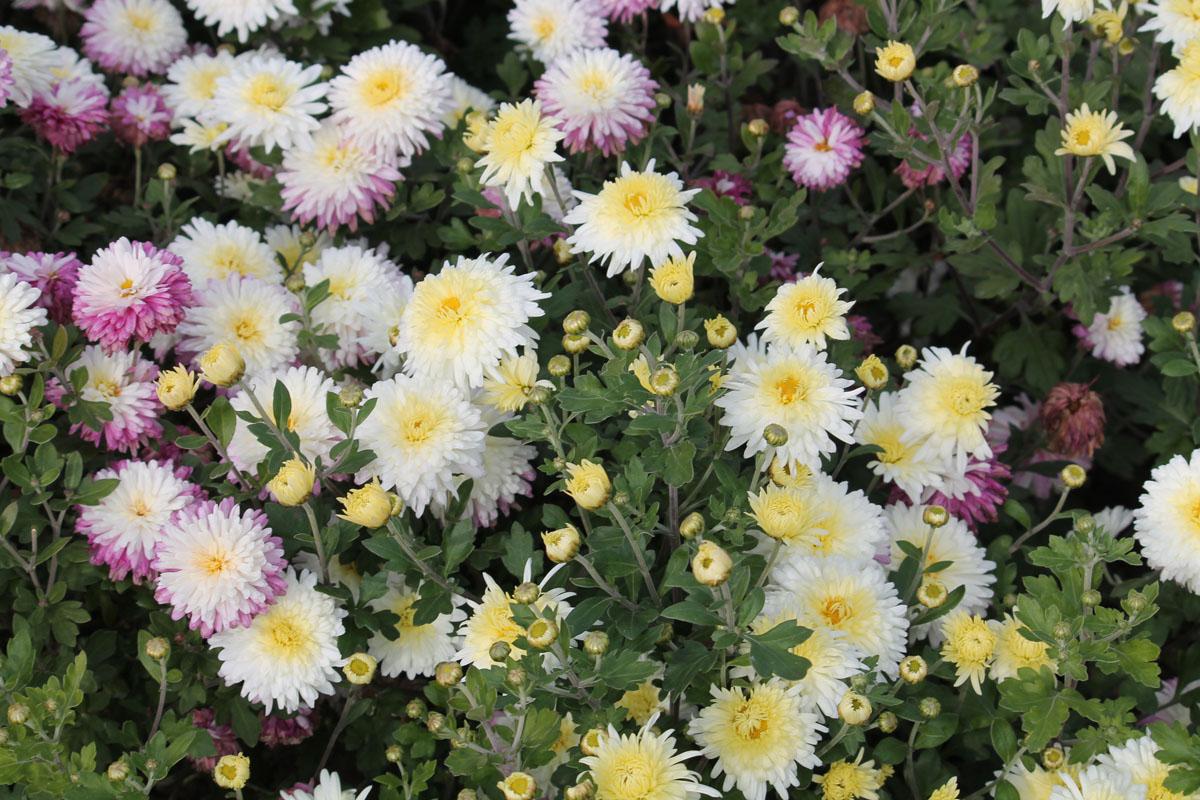 Хризантема корейская сорт Белоснежка