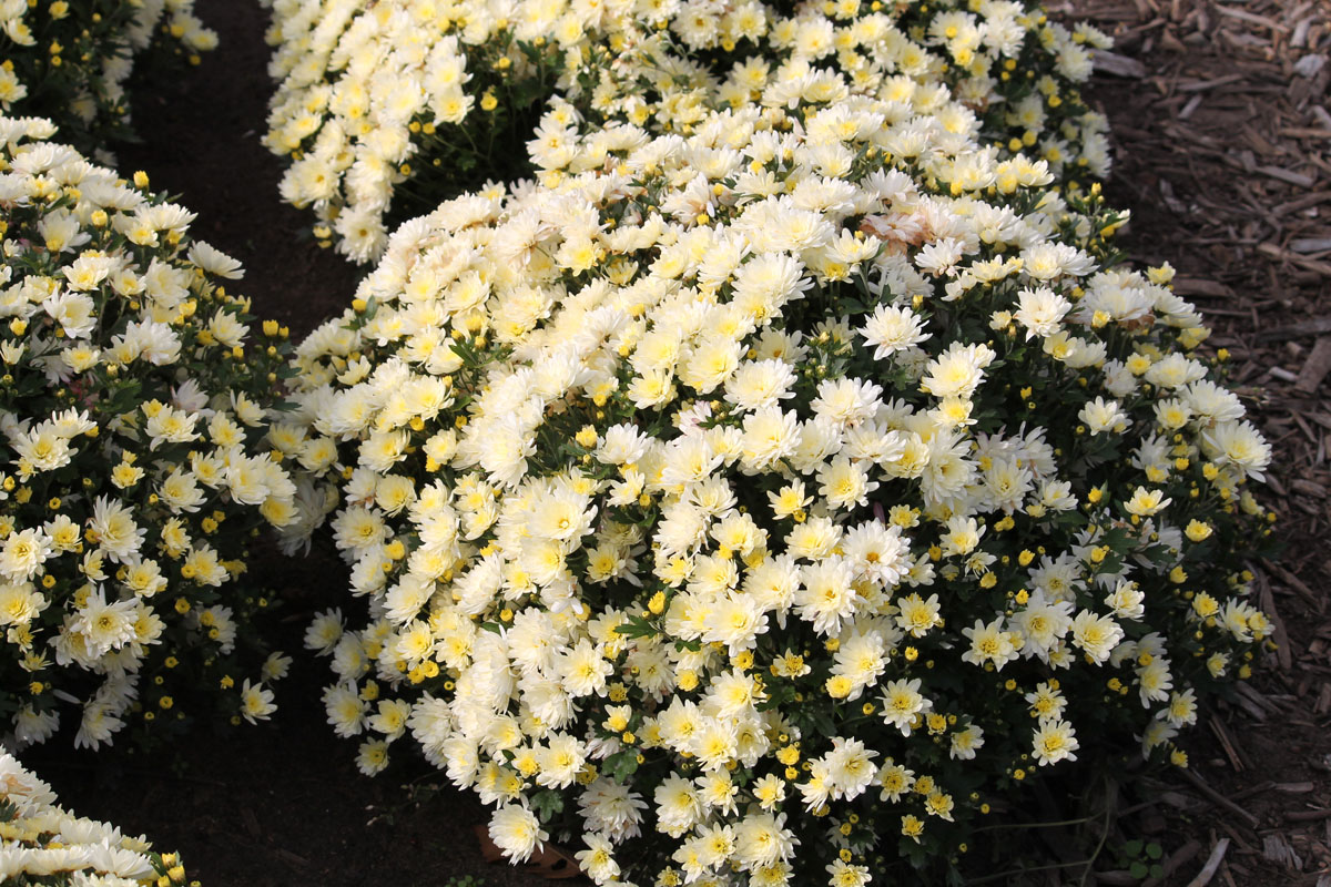 Хризантема мультифлора сорт Белый Шар