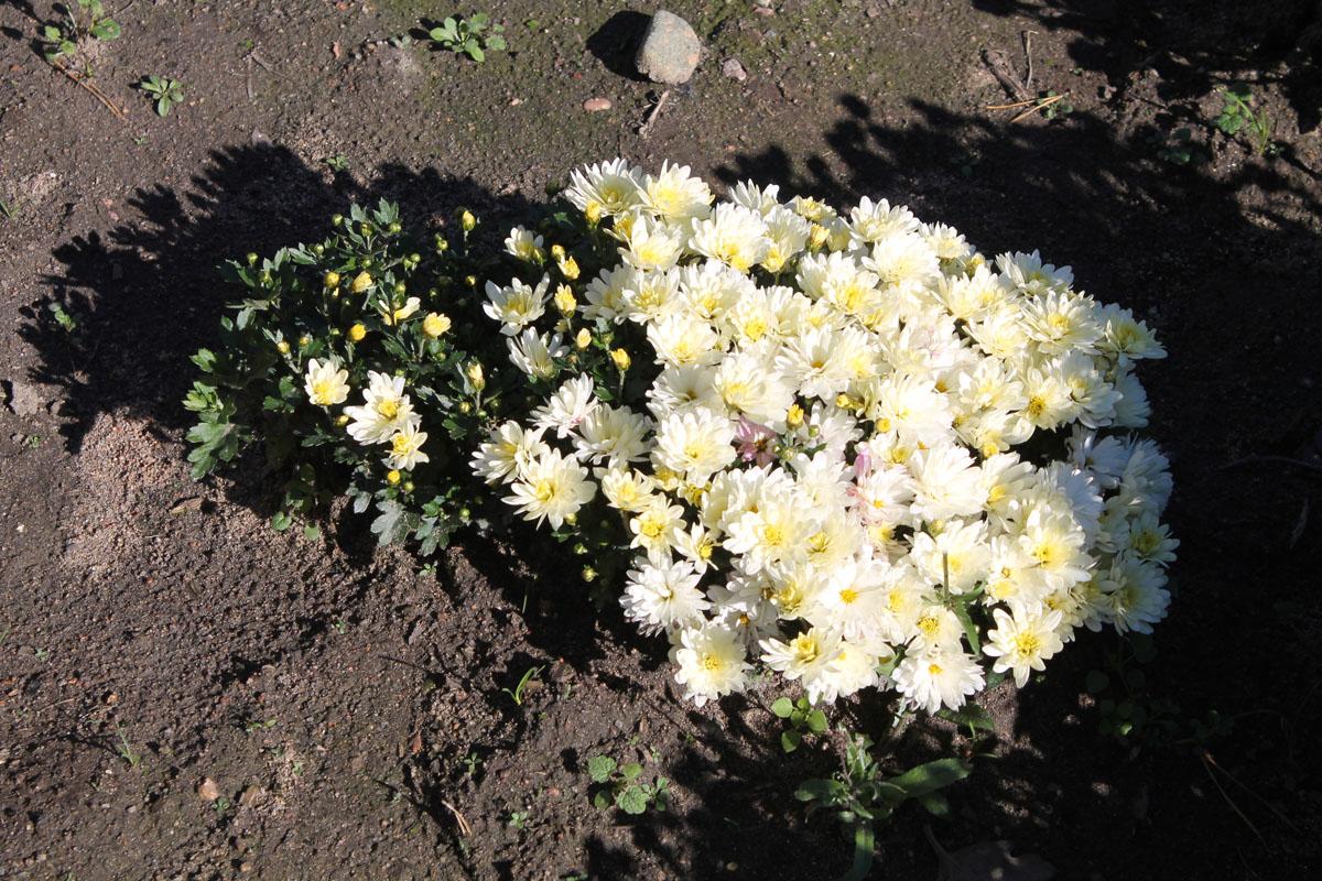 Хризантема корейская сорт Белый Шар