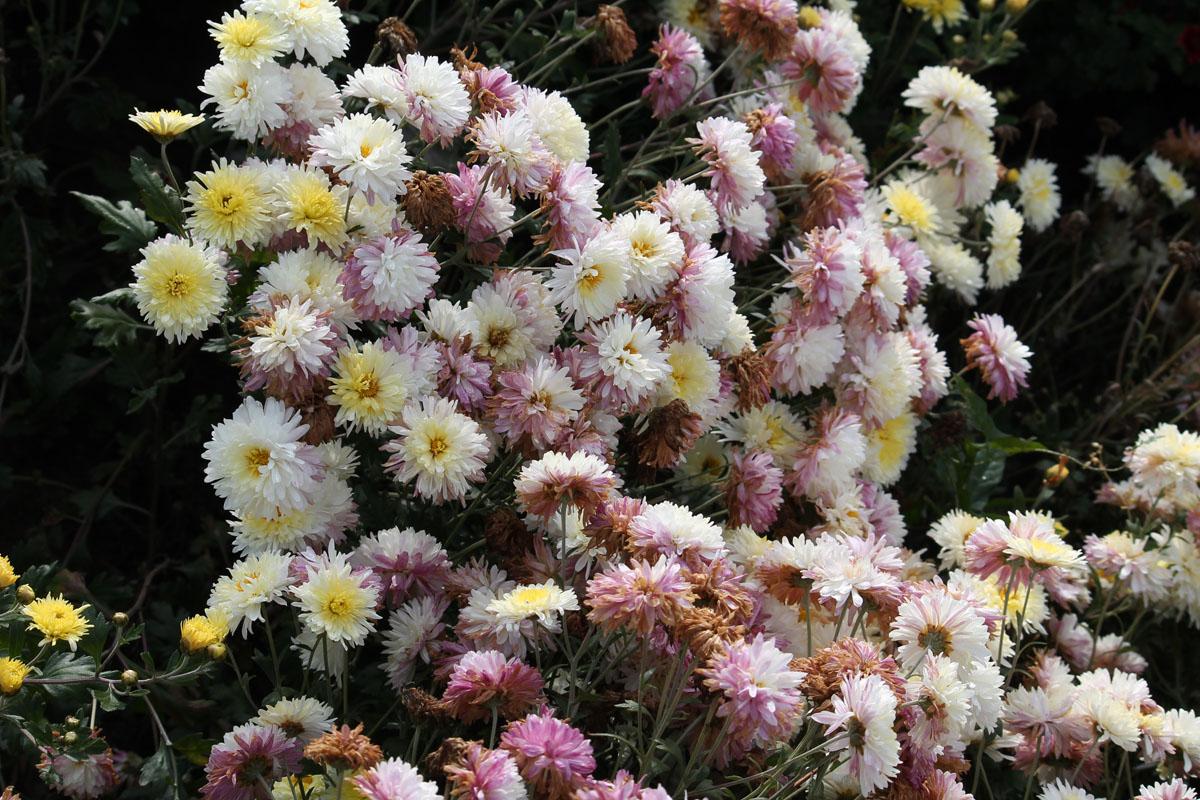 Хризантема корейская сорт Хрустальная