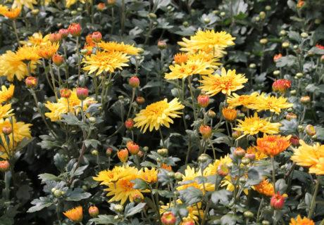 Хризантема корейская сорт Дикий Мед
