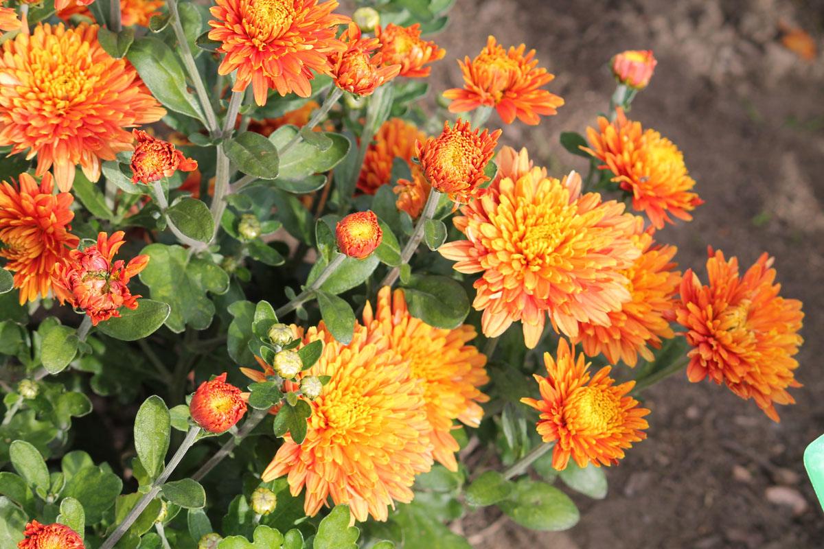 Хризантема корейская сорт Фанфары