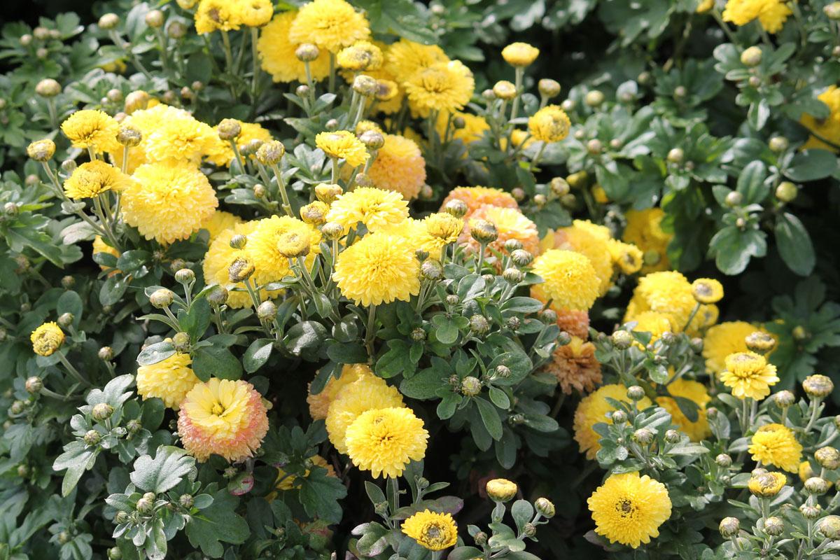 Хризантема корейская сорт Holly (Холли)