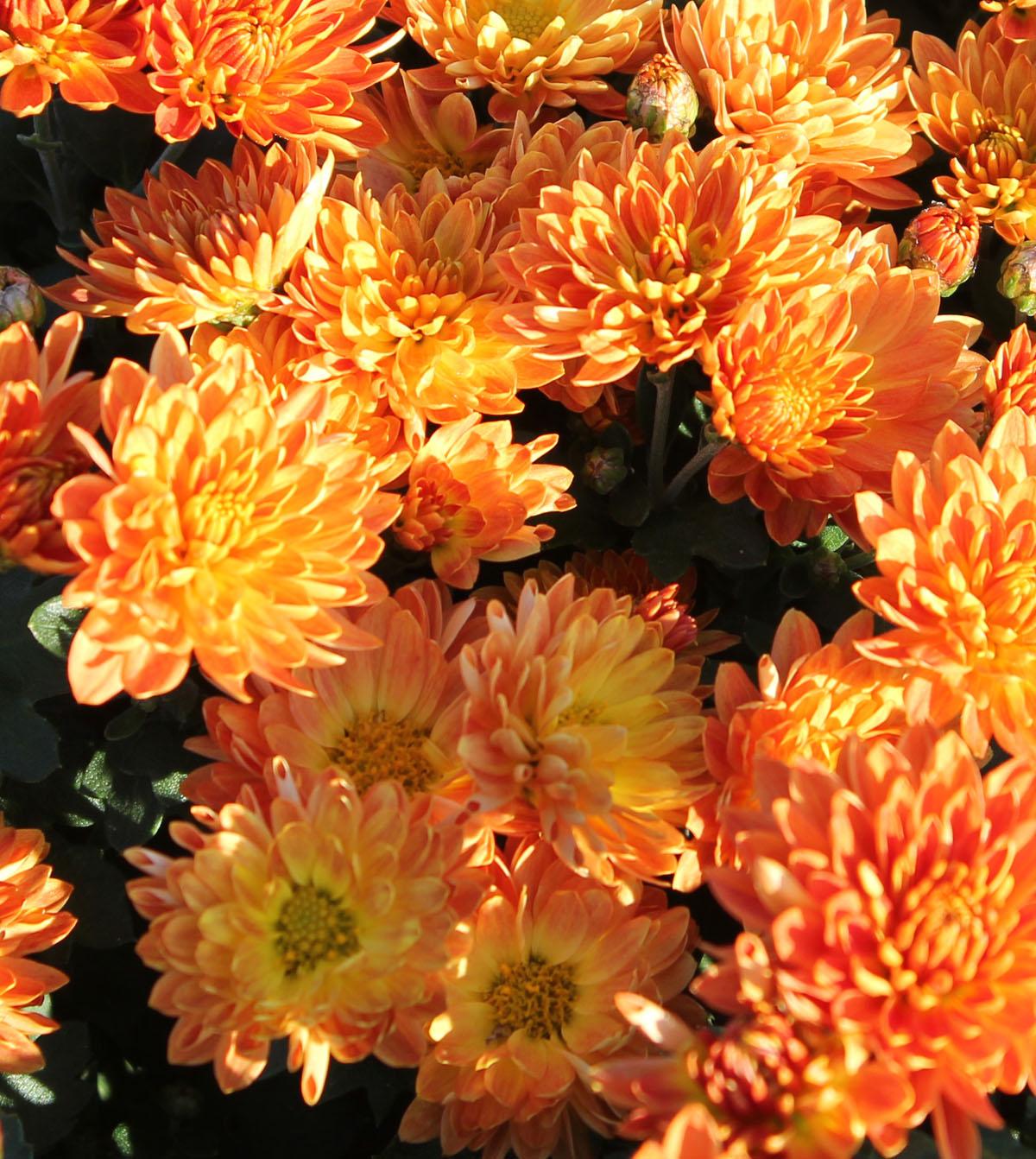 Хризантема корейская сорт Колобок