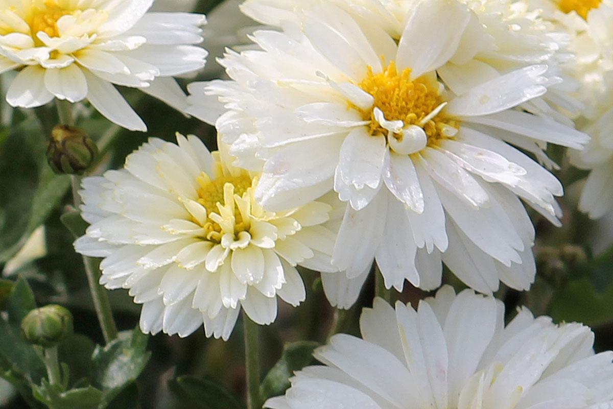 Хризантема корейская сорт Крижинка