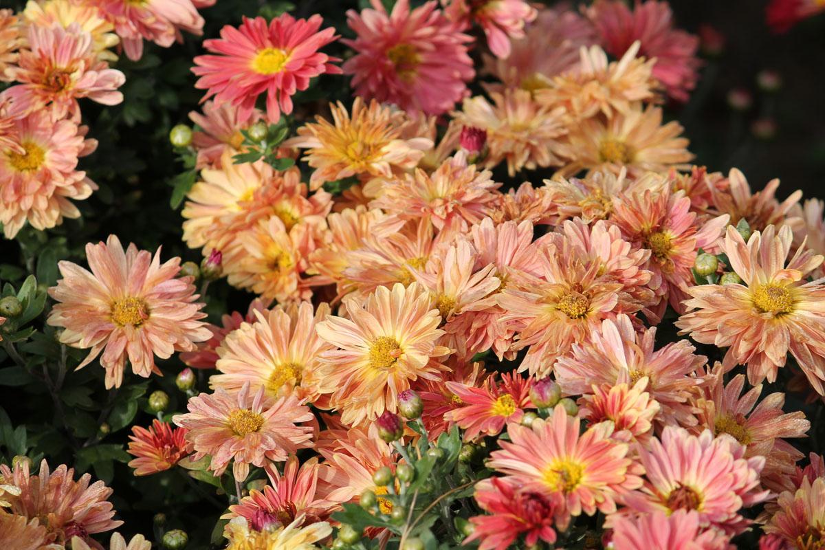 без хризантема описание фото корейская золотая осень качестве