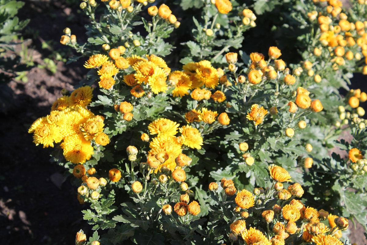 Хризантема корейская сорт Мишаль