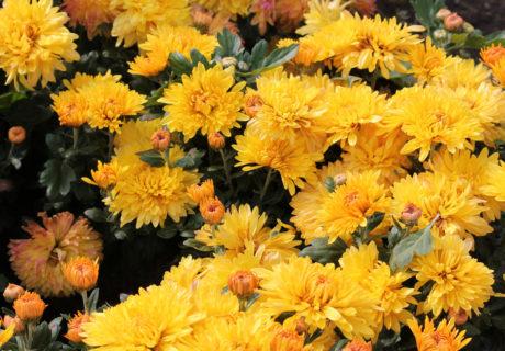 Хризантема корейская сорт Опал