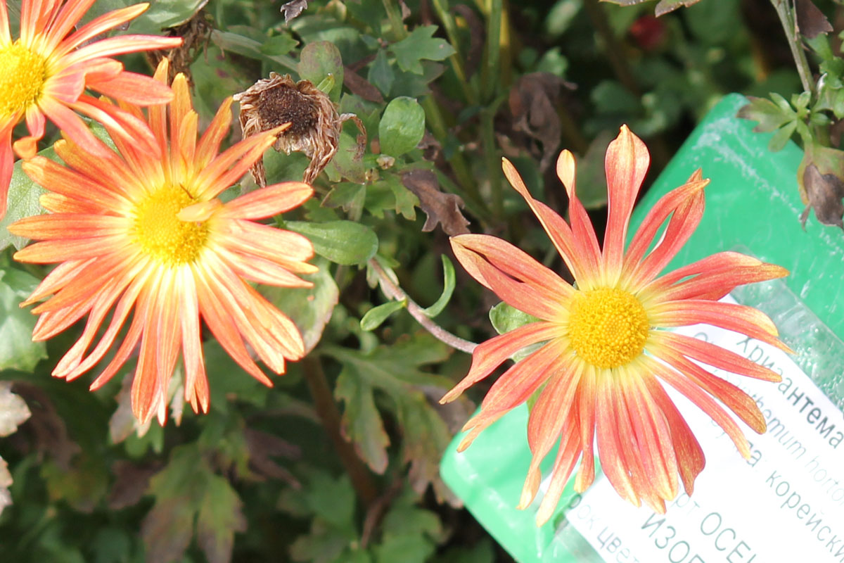 Хризантема корейская сорт Осеннее Изобилие