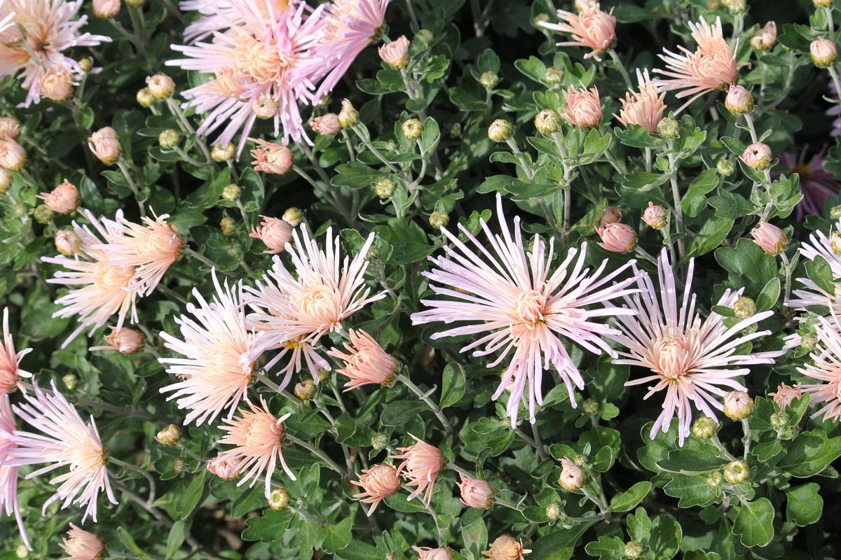 Хризантема корейская сорт Перлинка