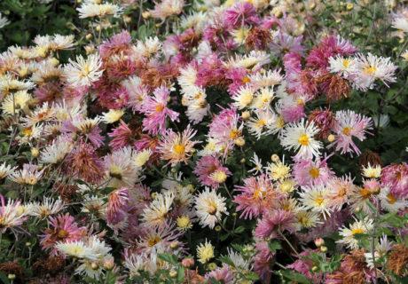 Хризантема корейская сорт Перлинка Белая