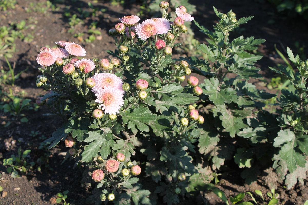 Хризантема корейская сорт Рассвет
