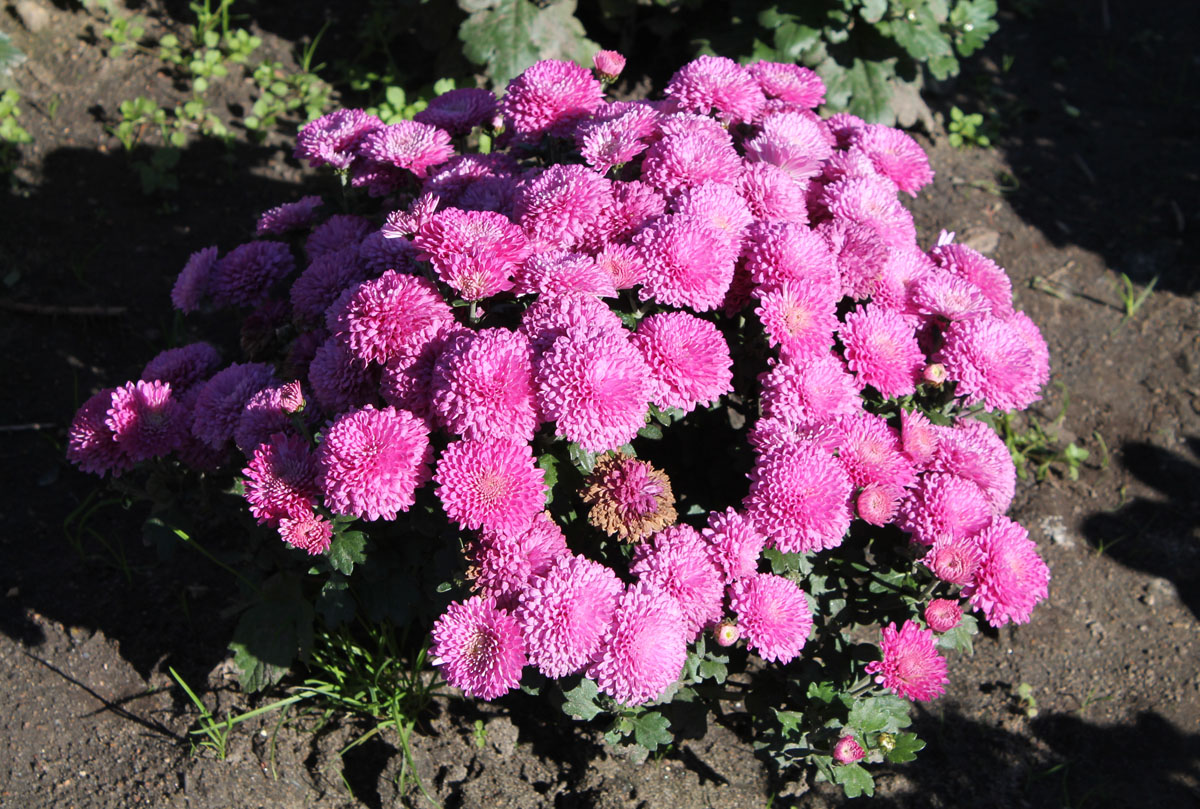 Хризантема мультифлора сорт Розовая Фея