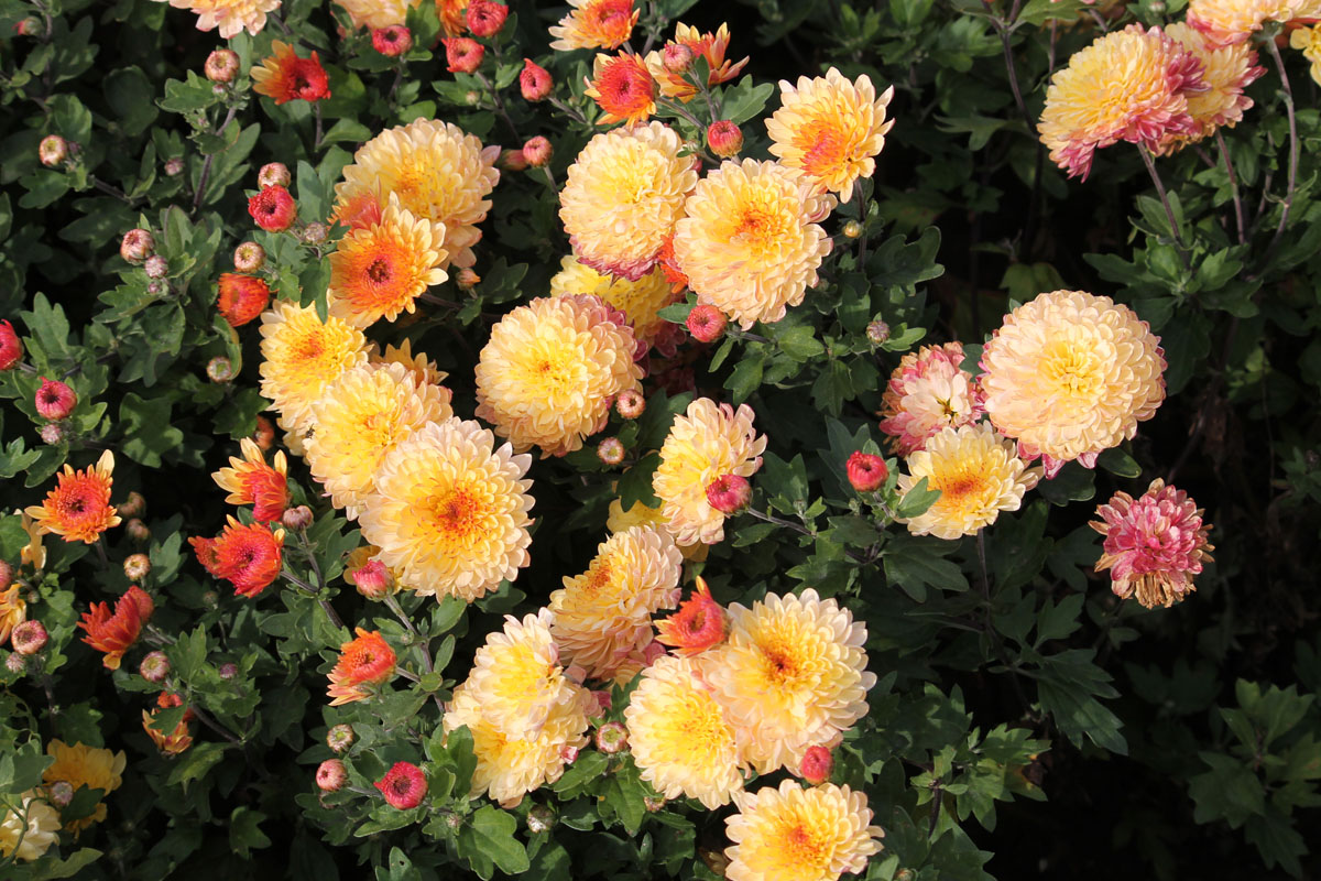 Хризантема корейская сорт Солнцецвет