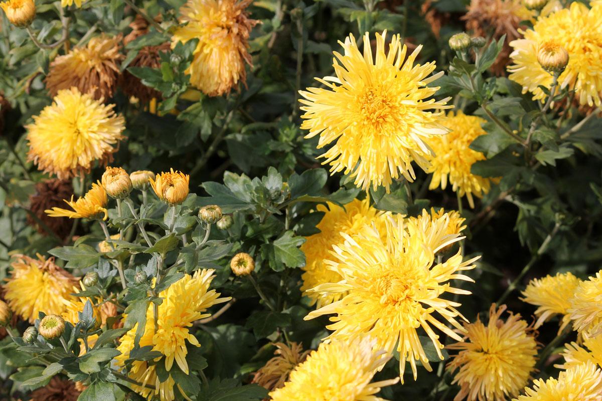 Хризантема корейская сорт Сонячко