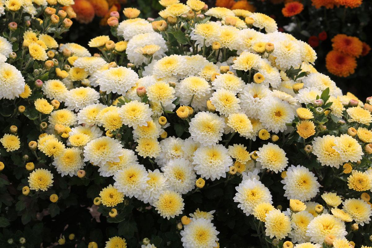 Хризантема корейская сорт Светлячок