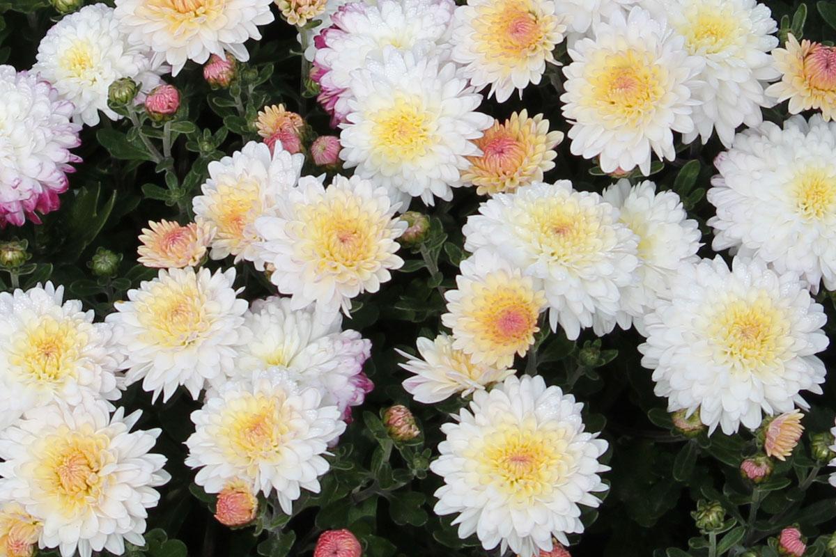 Хризантема мультифлора сорт Yogigi White (Gigi White, Гиги Вайт)