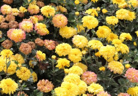 Хризантема корейская сорт Золотое Руно