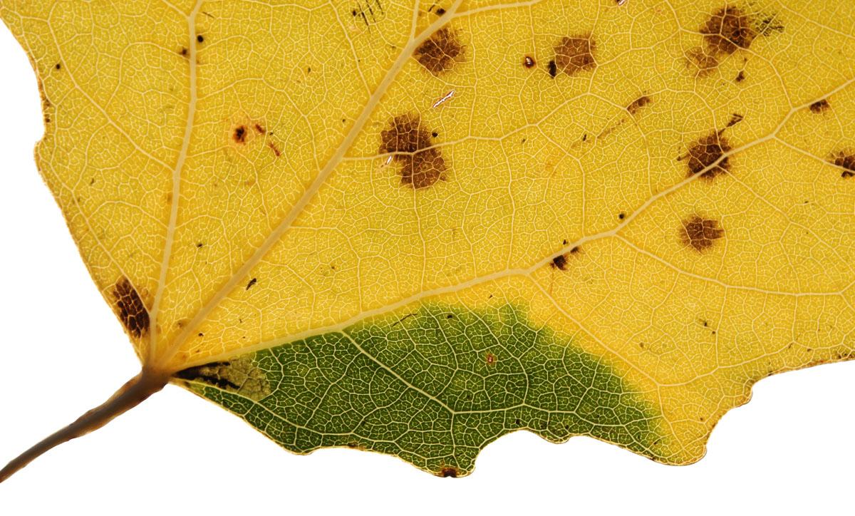 Нехарактерное краевое расположение мины E. argyropeza на листе осины, вызванное небольшим отклонением в жилковании листа