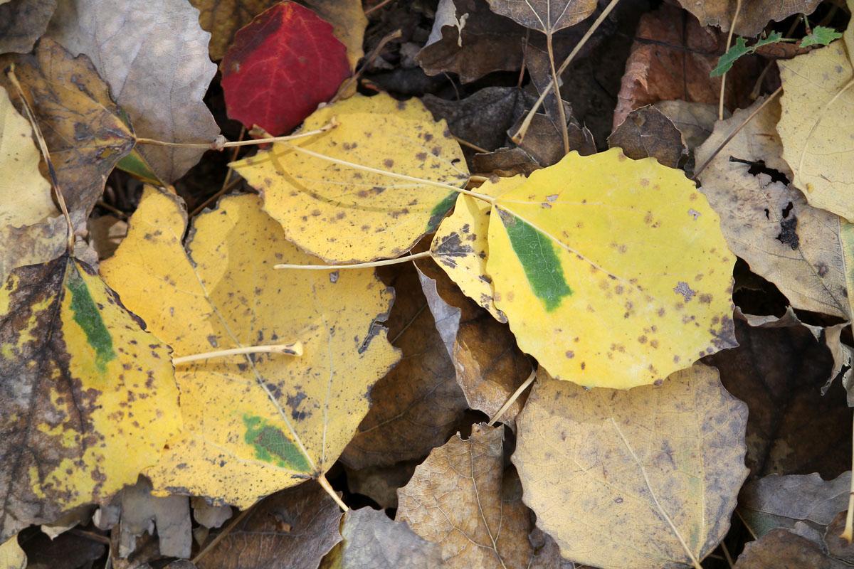 """Опавшие листья осины с характерными """"зелеными окнами"""" – симптомами поражения осиновой черешковой молью-крошкой"""