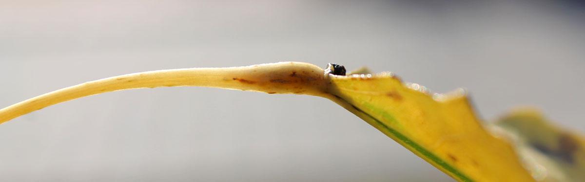 Набухший черешок листа осины, пораженного осиновой черешковой молью-крошкой (Ectoedemia argyropeza)
