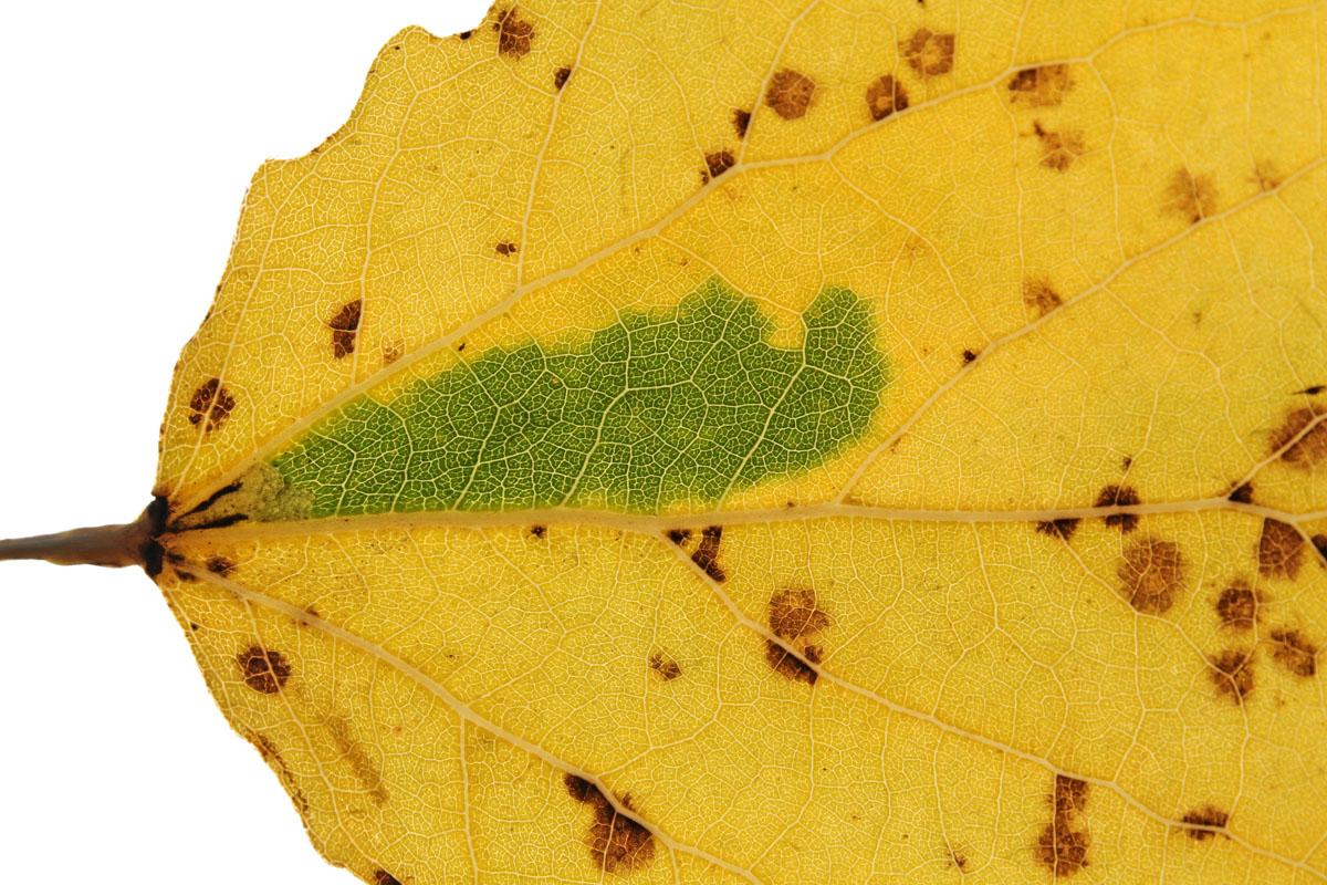 Листовая мина осиновой черешковой моли-крошки (Ectoedemia argyropeza) на листе осины. Видна пятновидная листовая мина у основания зеленого окна.