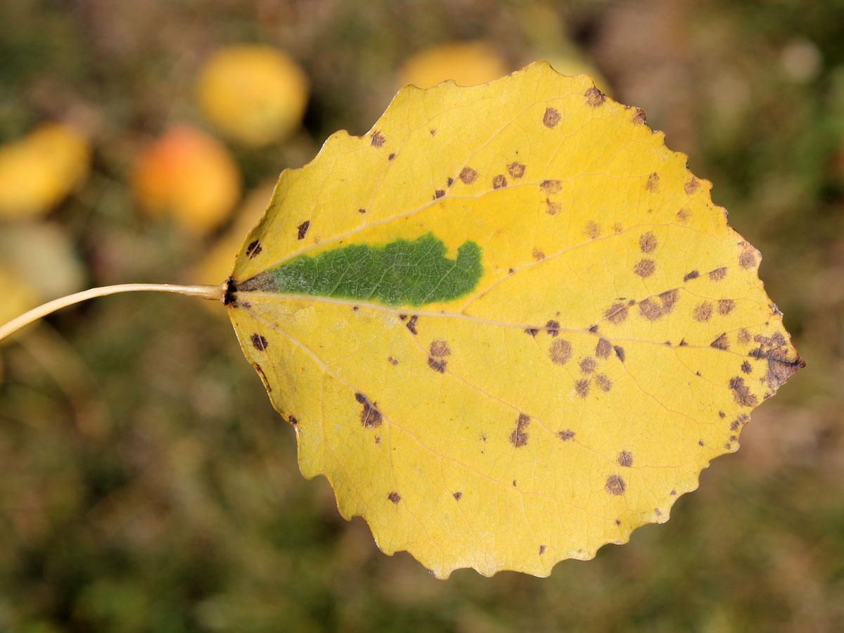 Листовая мина осиновой черешковой моли-крошки (Ectoedemia argyropeza) на листе осины